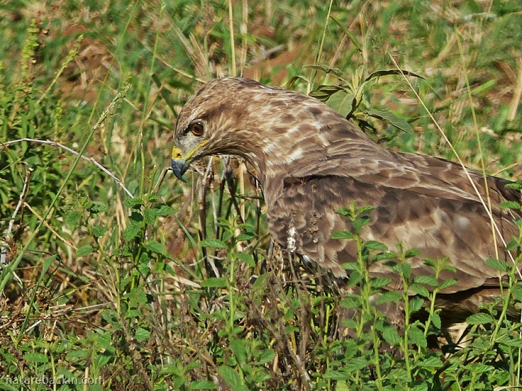Steppe buzzard searching for prey on the ground