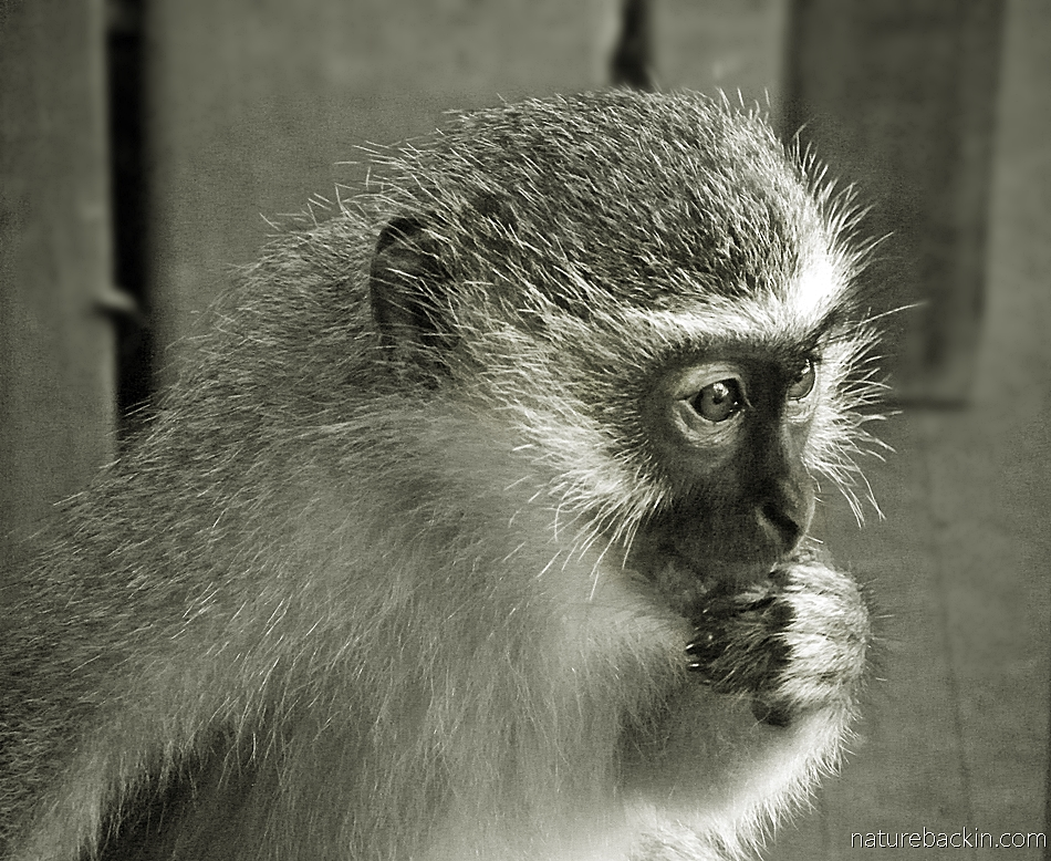 Thoughtful juvenile vervet monkey in a suburban garden, South Africa