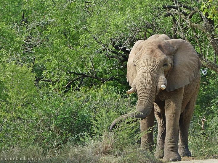 Large bull elephant, iMfolozi park