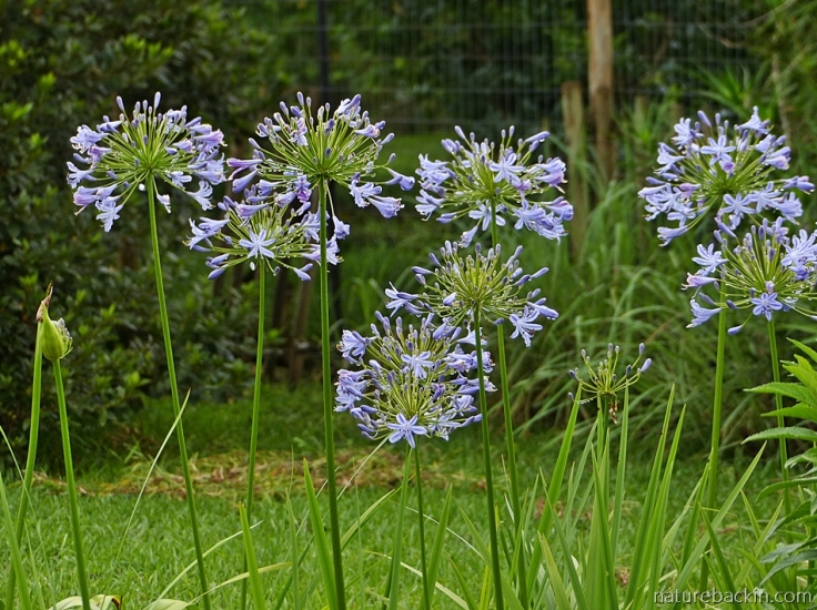 A stand of agapanthus in flower in a KwaZulu-Natal garden