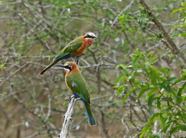 Two white-fronted bee-eaters hawking from perch