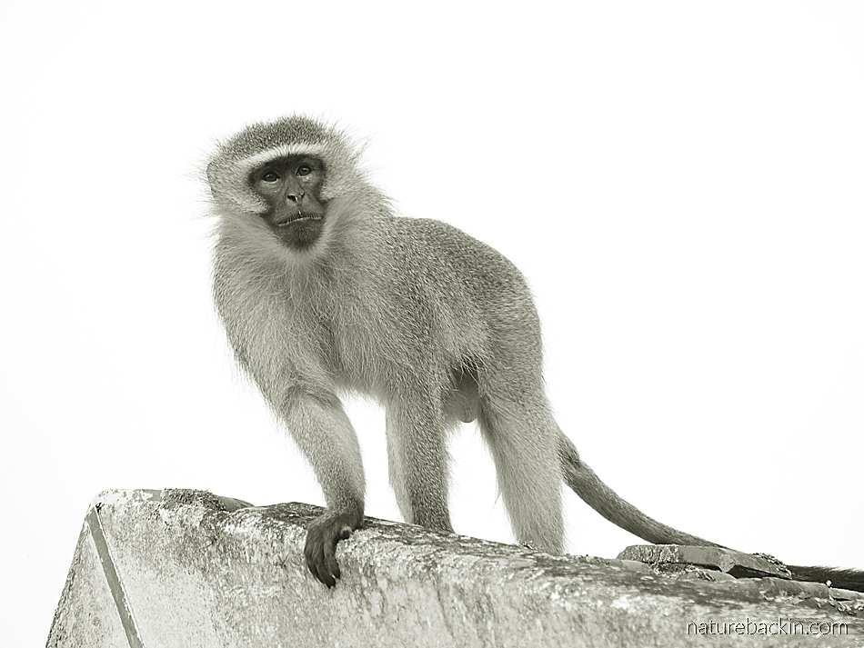 A top ranking vervet monkey