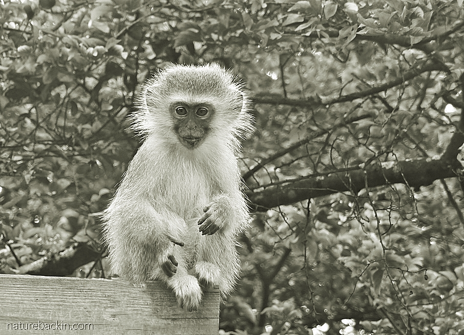 Vervet monkey watching the photographer in a suburban garden, KwaZulu-Natal