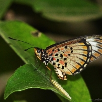 Blood-red Acraea butterfly: A complete life cycle in one shrubby tree
