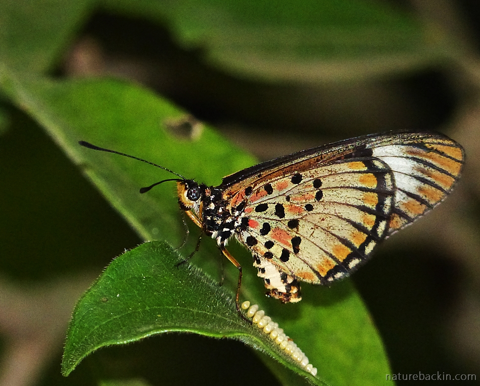 Female Blood-red Acraea butterfly laying eggs