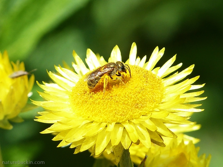 10 Solitary-bee-on-flower