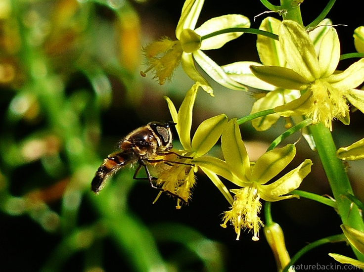 11 Hoverfly-on-bulbine