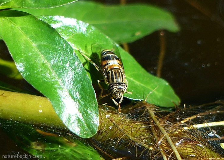 12 Hoverfly-drinking