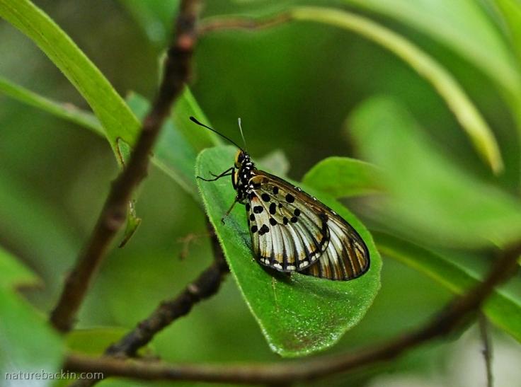 Female Blood-red Acraea (Acraea petraea) butterfly