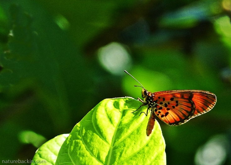 Male Blood-red Acraea butterfly (Acraea petraea)
