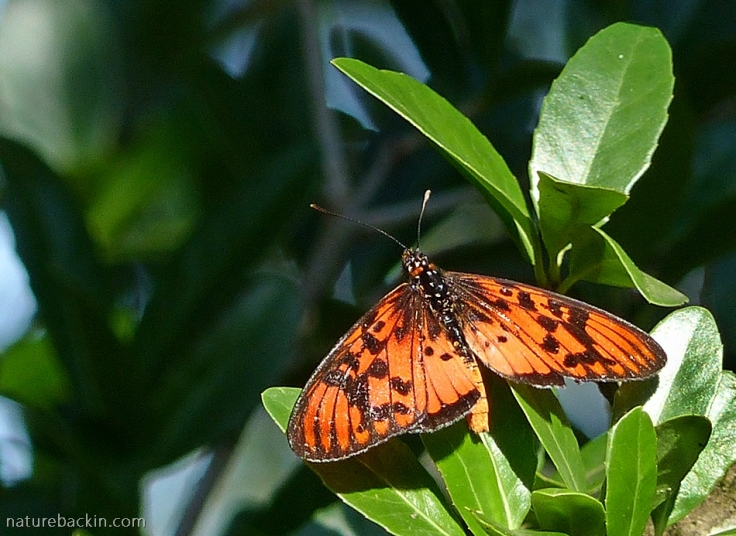Male Blood-red Acraea butterfly perching with wings spread
