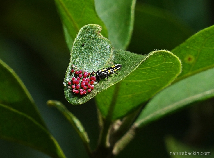 Ladybird larva feeding on eggs of the Blood-red Acraea butterfly