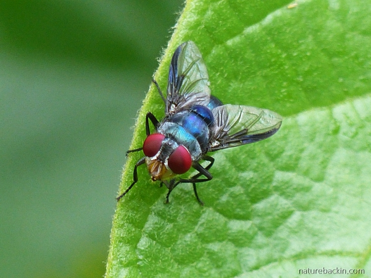 5 Blow-fly