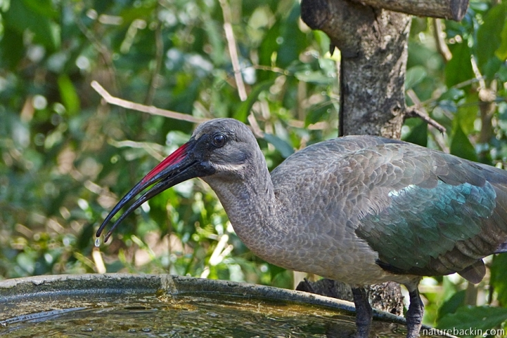 Hadeda ibis drinking from birdbath in a suburban garden