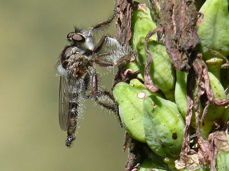 6 Robber-fly