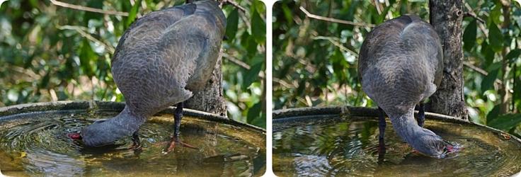7 Hadeda-ibis
