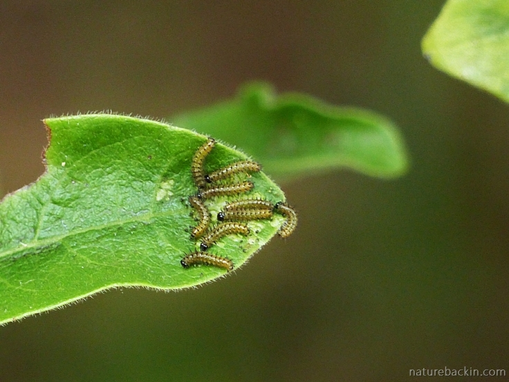 Caterpillars of the Blood-red Acraea butterfly eating the leaf of an African dog rose