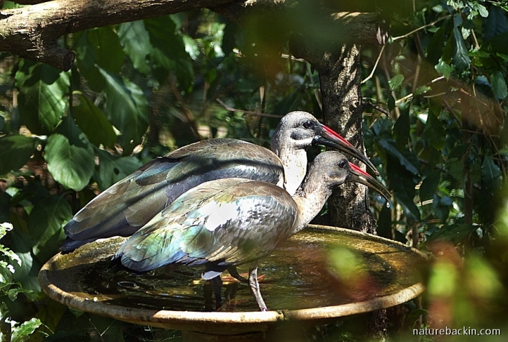 Pair of hadeda ibises sharing a bird bath