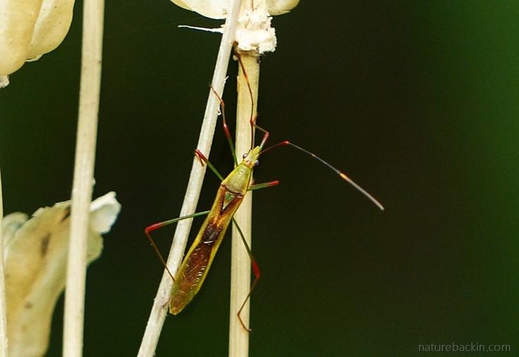 9-Slender-beetle