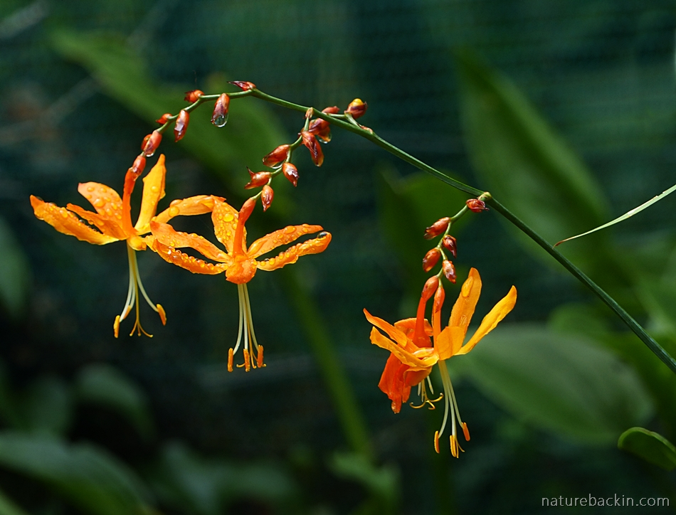 Flowers of the Falling Star, Crocosmia aurea, South Africa