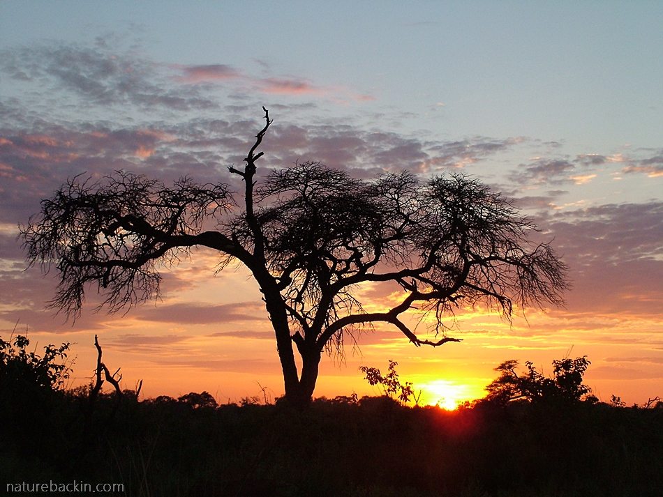 Camelthorn silhouette and sunrise at Savuti, Chobe National Park, Botswana