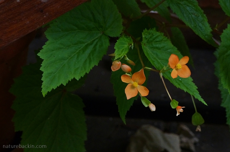 Wild Orange Begonia, South Africa