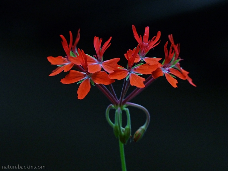 Flower of a potted pelargonium