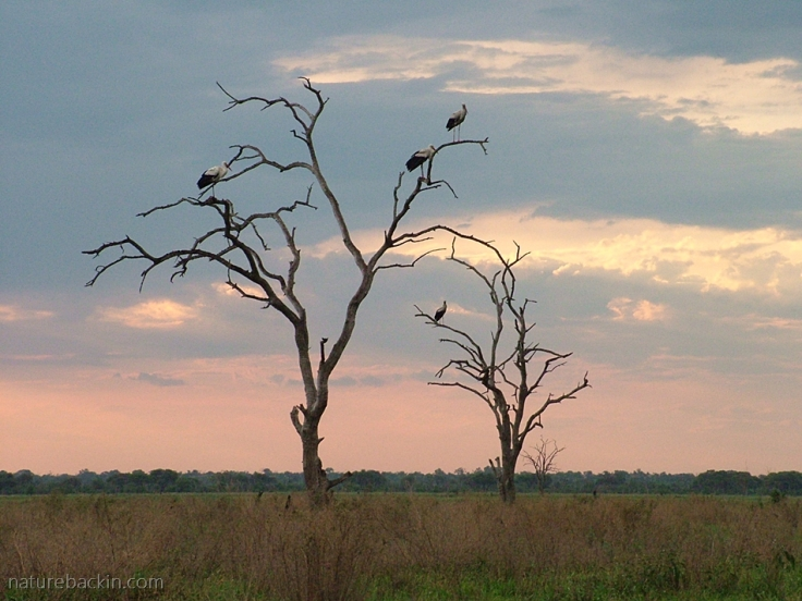 White storks roosting in dead trees at Savuti, Botswana, at dawn