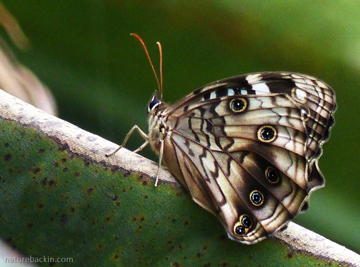 Paralethe dendrophilus, Forest Beauty butterfly with wings closed