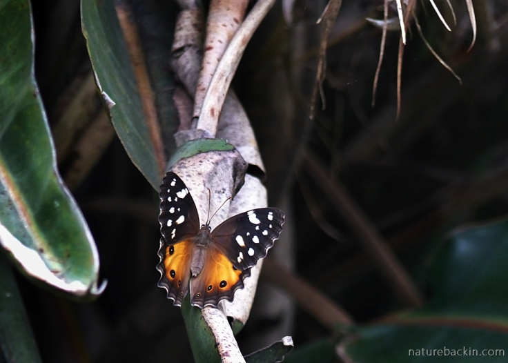 Paralethe dendrophilus or Forest Beauty butterfly in a KwaZulu-Natal garaden