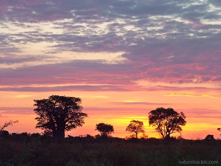 Tree skyline and sunrise sky, Savuti Botswana