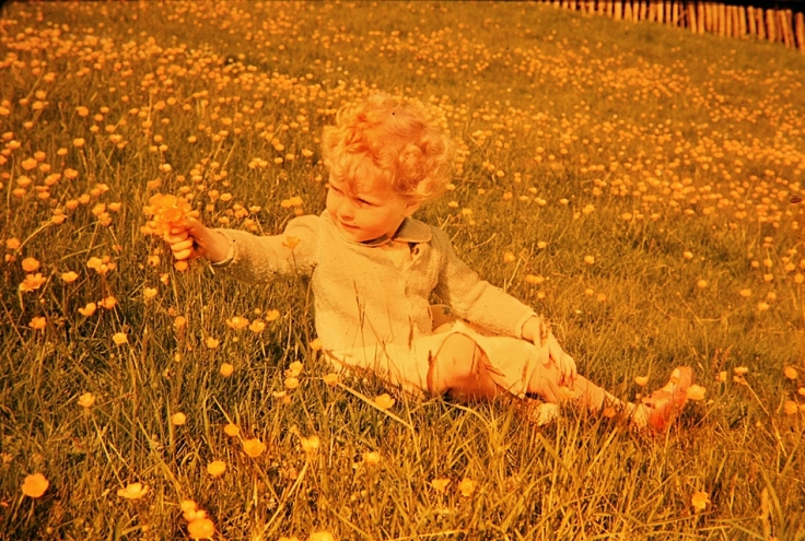 Buttercup meadow with small child in 1960s England