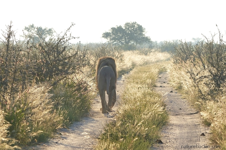 Lion walking on tracks of road at dawn, Central Kalahari Game Reserve