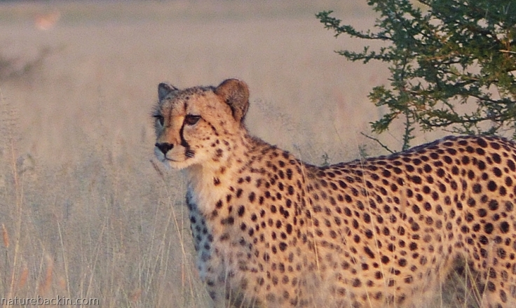 Cheetah at sunrise at Central Kalahari Game Reserve, Botswana