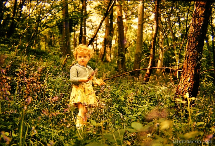 Small child in with wild English Bluebells in English woodland in 1960