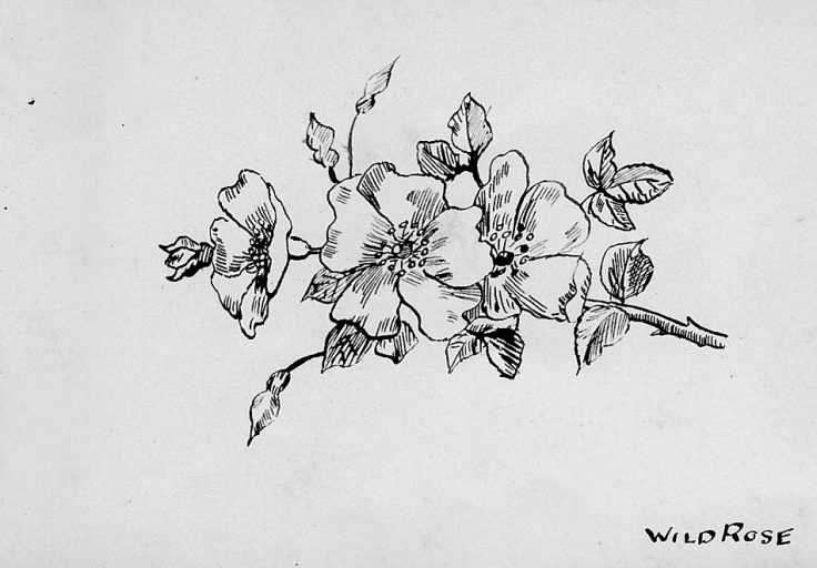 Pen-and-ink sketch of an English wild rose or dog rose