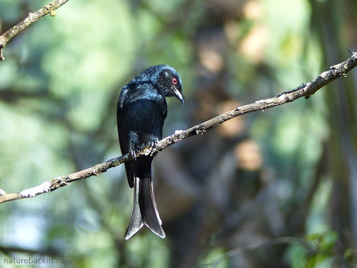 Fork-tailed Drongo waiting on perch to hawk insects