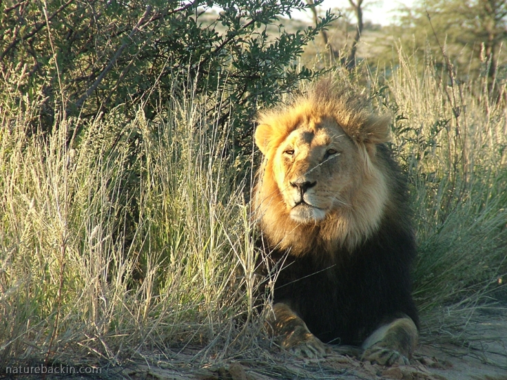 Black-maned Kalahari lion in early morning sun