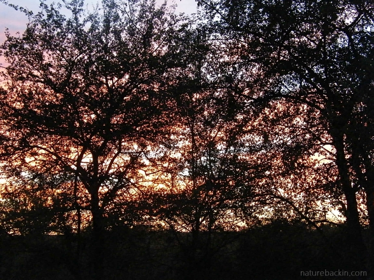 Trees at sunrise at Central Kalahari Game Reserve