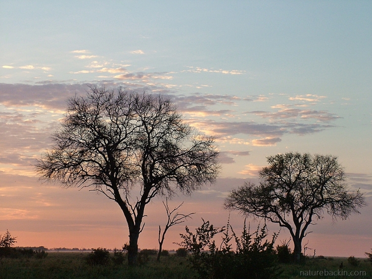 Tree silhouettes at dawn, Savuti, Botswana