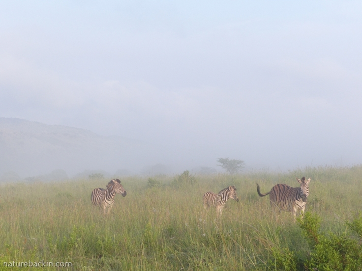 Zebra in misty dawn at Ithala Game Reserve, South Africa