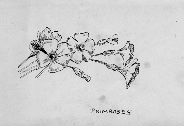 Pen-and-ink sketch of English primroses