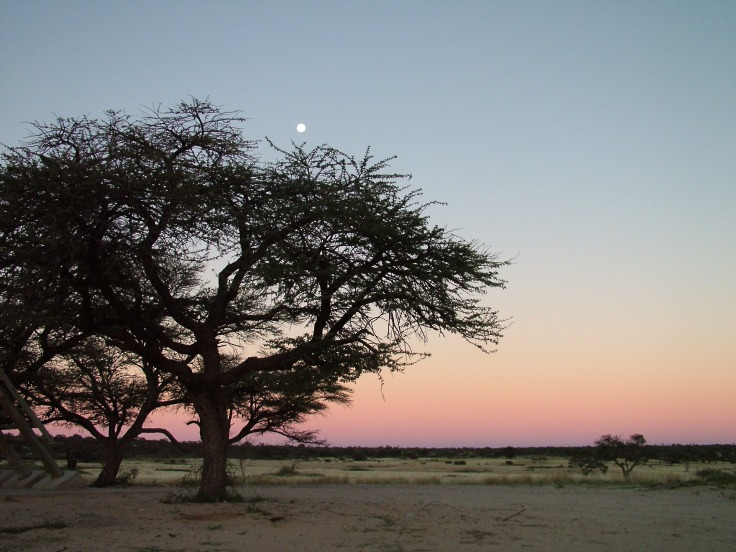 Moon above camelthorn tree at dawn, Mabuasehube, Botswana