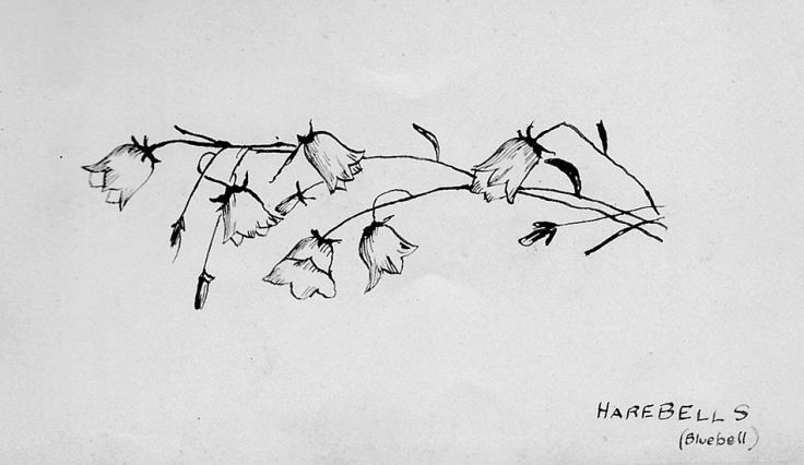 Sketch of Harebells (Campanula rotundifolia), also known as Bluebells