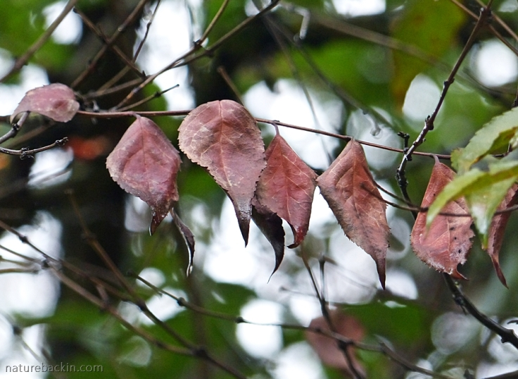 Dry leaves of a Tree Fuschia (Halleria lucida)