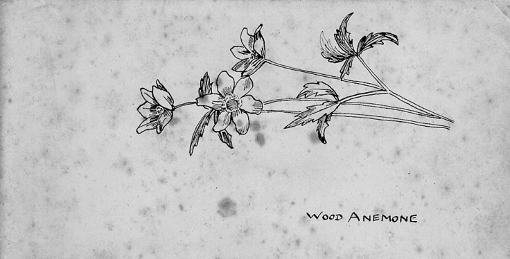 Sketch of the English Wood Anemone in pen and ink.