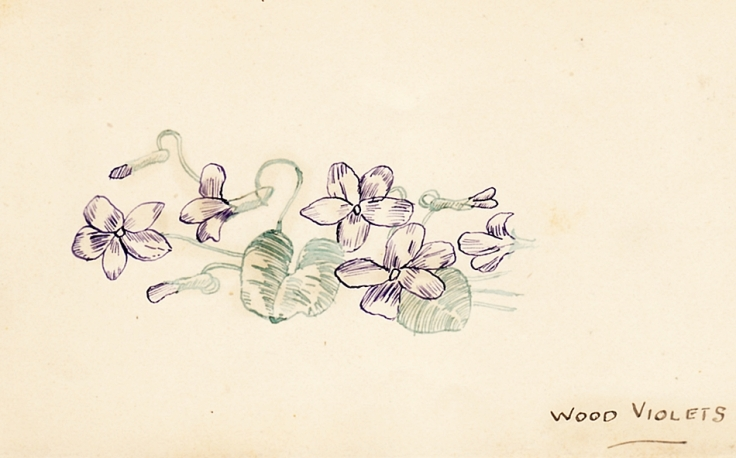 Sketch of English wildflowers: Wood Violets