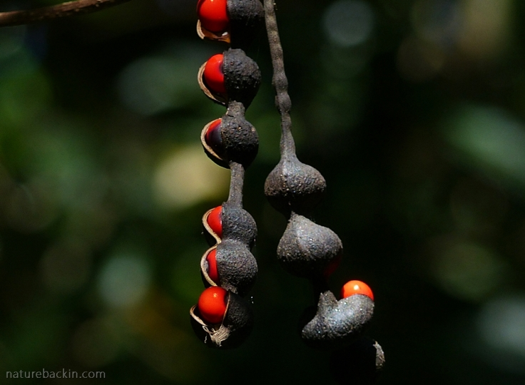 Seedpod of the Dwarf Coral Tree