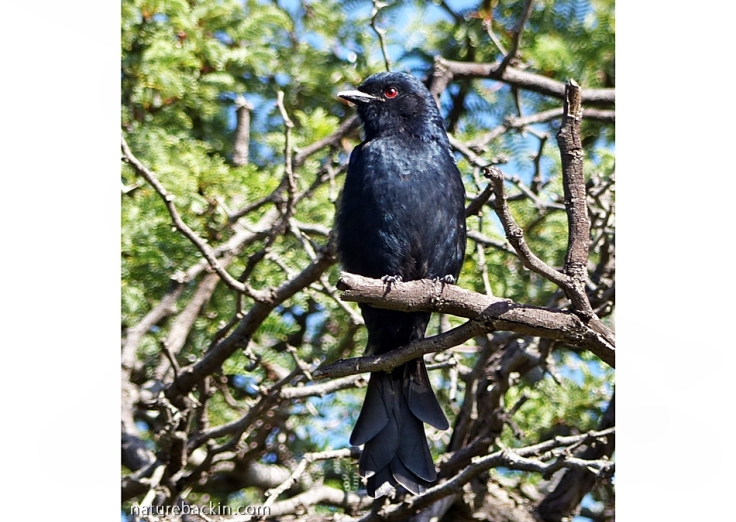 Moulting Fork-tailed Drongo, Botswana