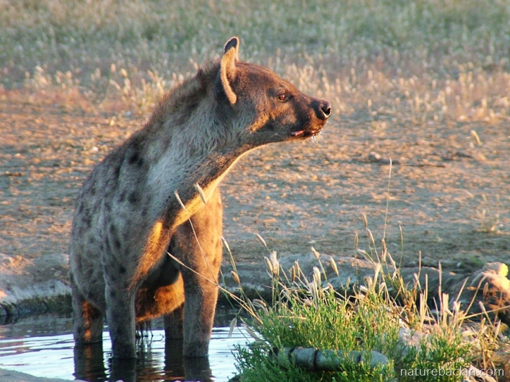 Early morning light and a spotted hyena at waterhole,, Kalahari Transfrontier Park